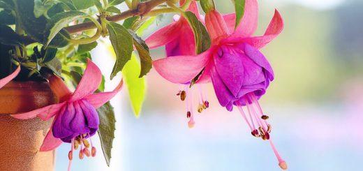 bella-fuchsia-plant-verzorgen
